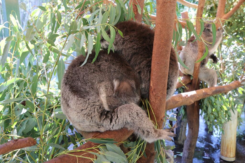 2 koalas sleeping on the tree branches