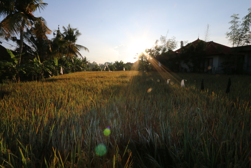 Sunrise, another shot taken at different paddy field